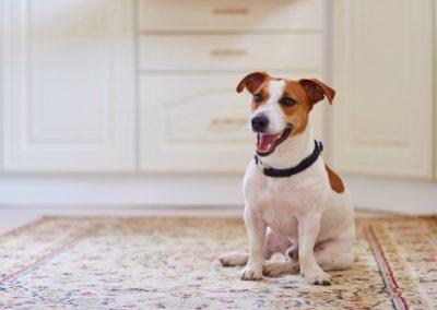 raza de perro jack russell terrier caracteristicas