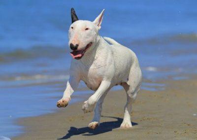 raza de perros bull terrier caracteristicas