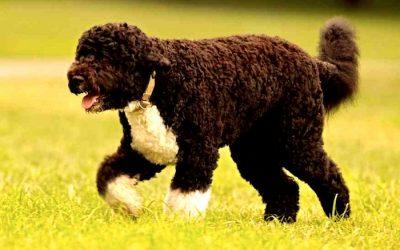 raza perro de agua portugues