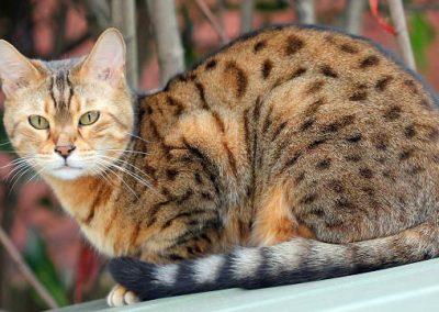 razas de gatos ocicat