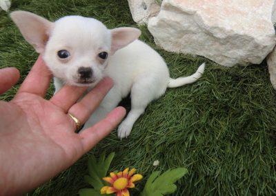 razas de perros chihuahua mini toy