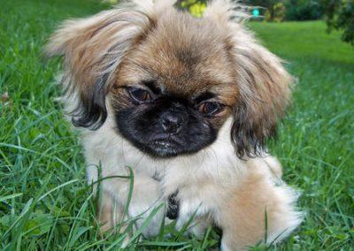 razas de perros pekines cachorros
