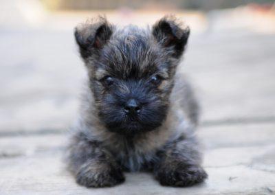 razas de perros pequeños cairn terrier
