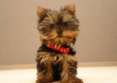 razas de perros yorkshire terrier mini