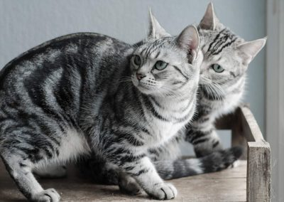 temperamento do gato american shorthair