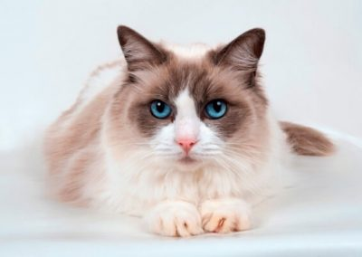 adoptar gato ragdoll