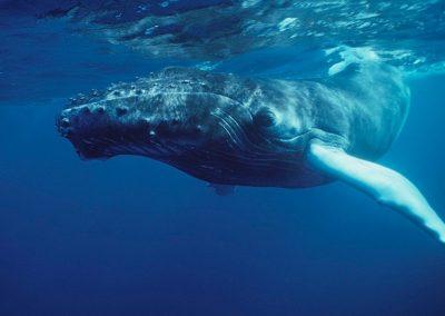 ballena en peligro de extinción