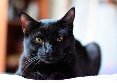 caracteristicas del gato bombay