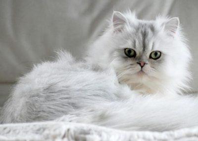 caracteristicas del gato persa