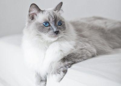 caracteristicas del gato ragdoll