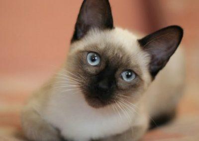caracteristicas del gato siames