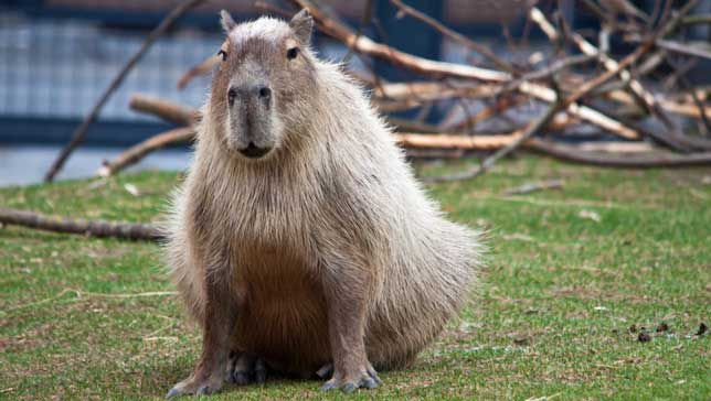 caracteristicas fisicas del capibara