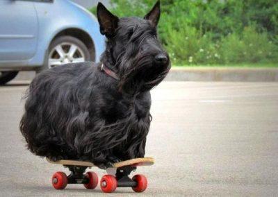 como cortar el pelo a un scottish terrier
