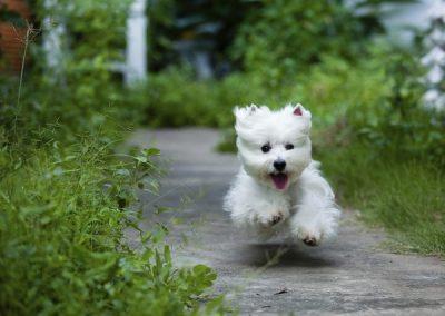 como cortar el pelo a un west highland white terrier