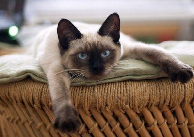 como saber si un gato es siamés