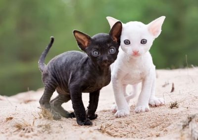 comprar gato cornish rex