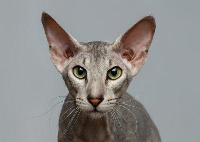 comprar gato peterbald