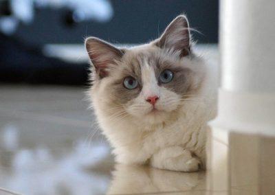 comprar gato ragdoll españa
