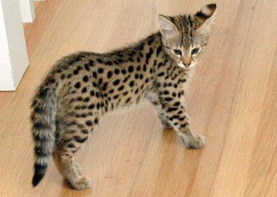 comprar gato savannah españa