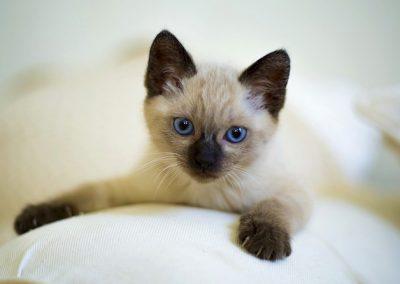 comprar gato siames pelo largo