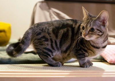 criadero de gatos munchkin