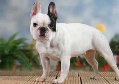 cual es la esperanza de vida de un bulldog frances