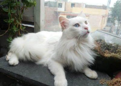 cuanto cuesta un gato angora turco