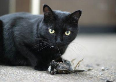 cuanto cuesta un gato de raza bombay