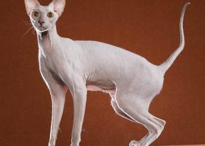 cuanto cuesta un gato peterbald