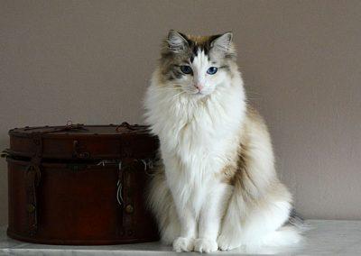 cuanto cuesta un gato ragdoll