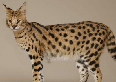 cuanto cuesta un gato savannah