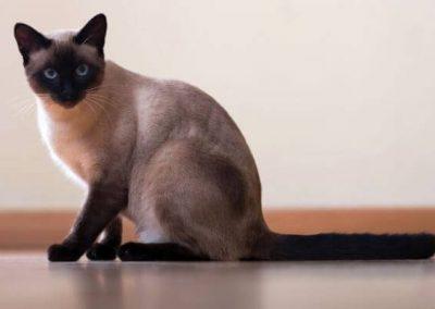 cuanto cuesta un gato siames