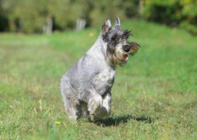 cuanto cuesta un perro schnauzer miniatura
