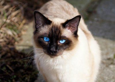 cuanto vive un gato siames