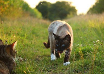 cuantos tipos de gatos siameses hay