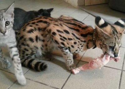 diferencia entre gato bengali y savannah