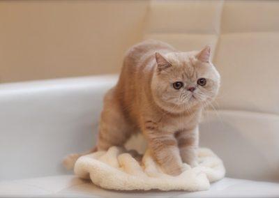 diferencia entre gato exotico y persa