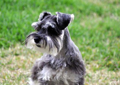 diferentes cortes de pelo para perros schnauzer