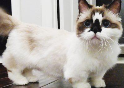donde puedo comprar un gato munchkin