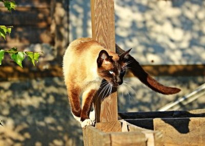 el gato siamés y su personalidad