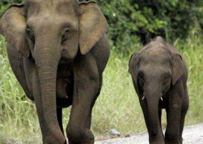 elefante asiatico en peligro de extincion