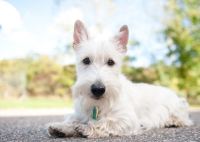 enfermedades comunes del scottish terrier