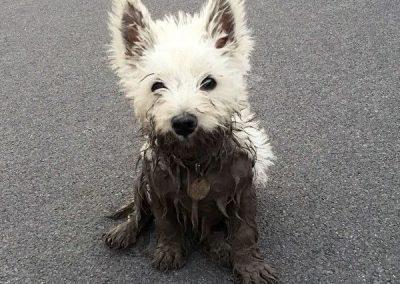 enfermedades de los west-highland white terrier