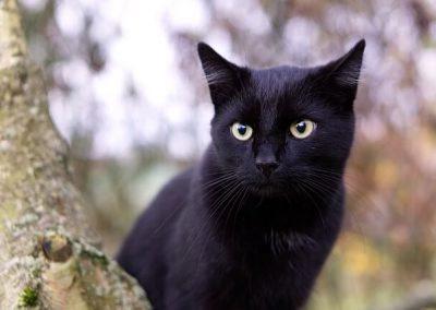 enfermedades del gato bombay