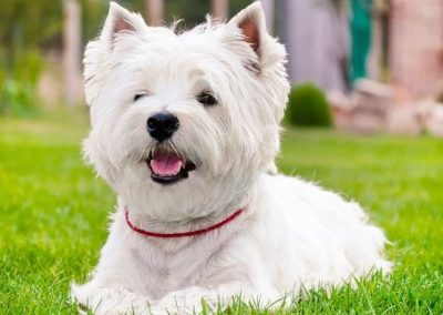 fotos de cachorros west highland white terrier