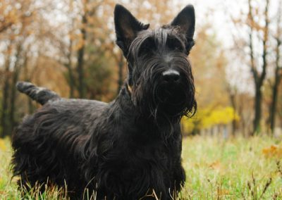 fotos de perros scottish terrier