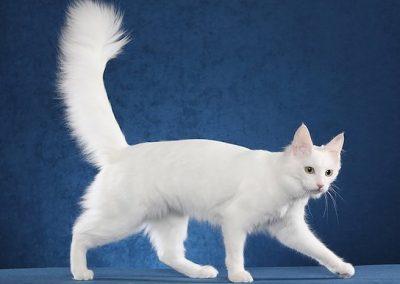 gato angora turco blanco ojos azules