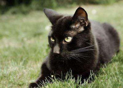 gato bombay caracter
