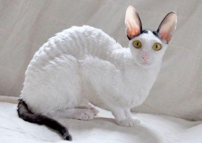 gato cornish rex precio