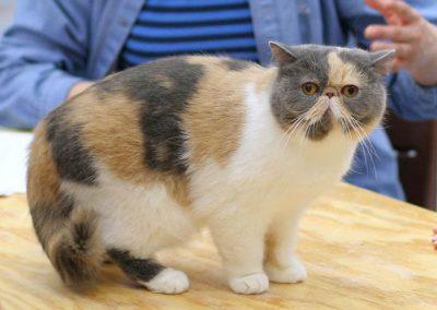 gato exotico azul tabby